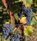 vigne et soleil